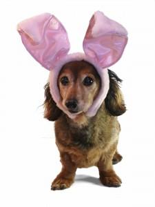 Easter bunny dachshund.